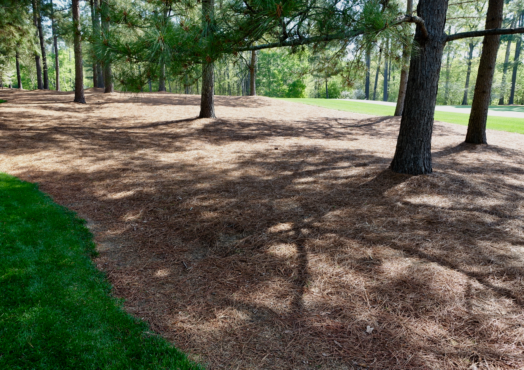 The pine needles under the trees is carefully groomed as are the lower branches.