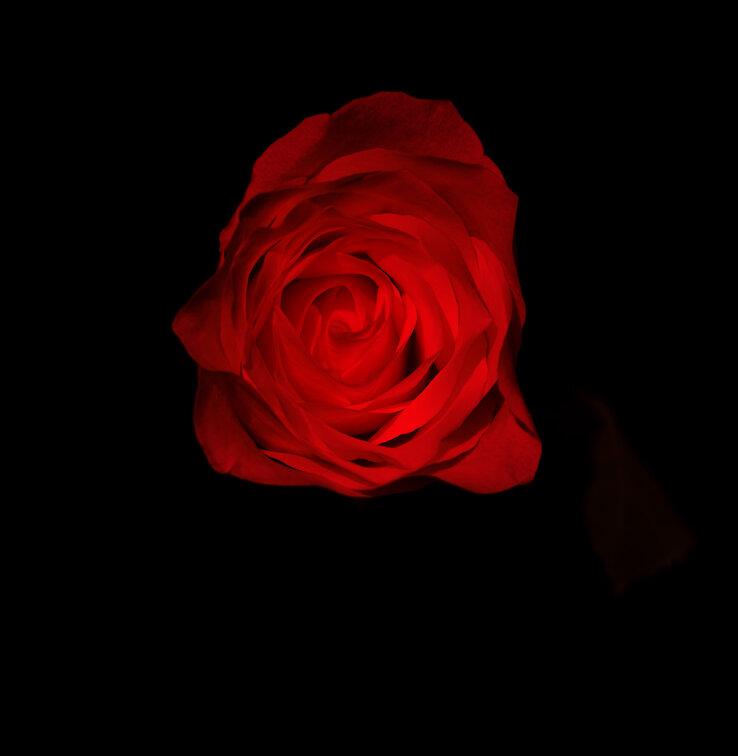 White+Rose+copy.jpg