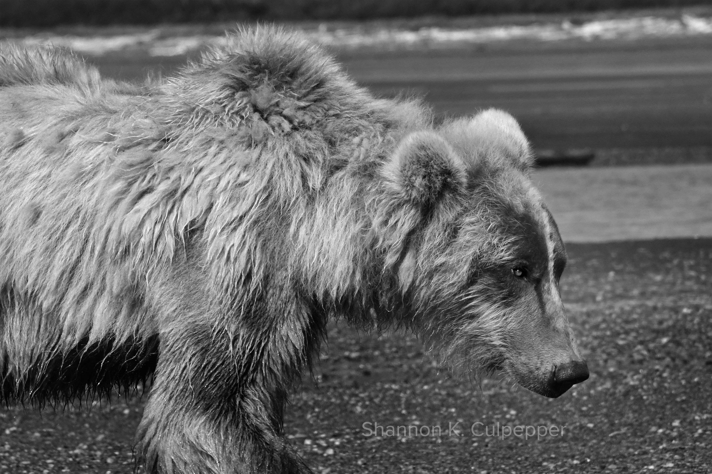 shannon_alaska_bear_1_closeup.jpg