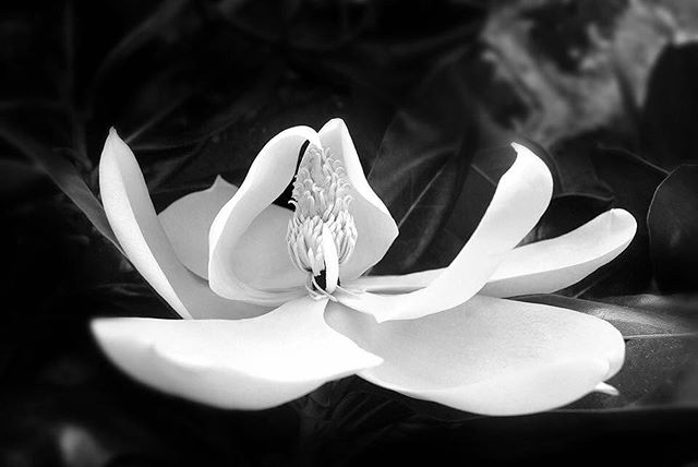 """And the day came when the risk to remain tight in a bud was more painful than the risk it took to blossom."" ~Anais Nin Photo by Shannon K. Culpepper #blackandwhitephotography #magnolia #bloom #lifeisgood #springflowers #spring"