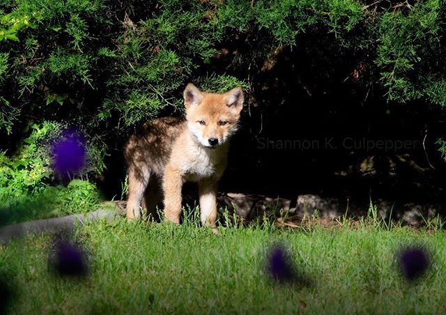 So my son Martin, the nature  photographer of the family, took me on a wildlife adventure this morning to find these adorable fluffy coyote pups. Photo by Shannon K. Culpepper #nature #wildlifephotography #puppies #coyote #shannonkculpepper