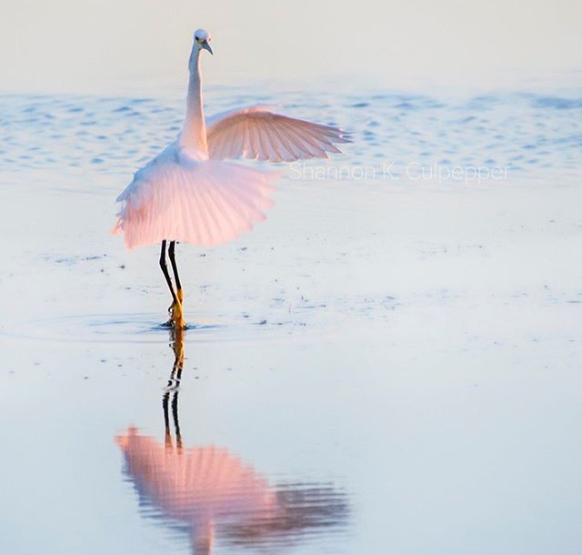 So the other night Martin and I came across this adorable, tiny, snowy egret putting on quite the performance at Parker River as the sun was going down. I love how this shot captured its inner ballerina, like Giselle risen from the grave performing a pirouette in a pink tutu. Photo by Shannon K. Culpepper #ballet #ballerina #dance  #wildlife #wildlifephotography #birding #ilovenature #parkerrivernationalwildliferefuge #egret #makeeverymomentcount #shannonkculpepper #bbcearth #natgeo #natgeo100contest #natgeoyourshot #yourshotnatgeo