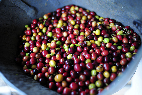 Freshly Picked Coffee Cherries.jpg