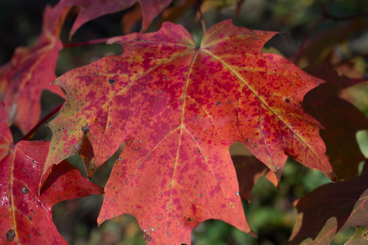 The red maple leaves are very dramatic