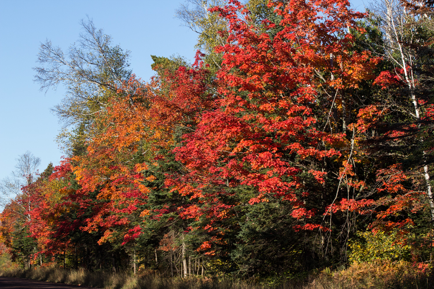 A nice row of maple trees along the dirt road