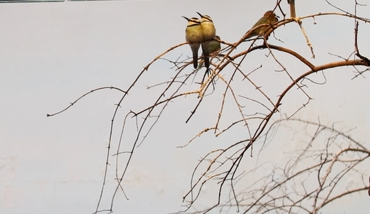 A pair of White-Throated Bee-Eaters (  Merops albicollis ).
