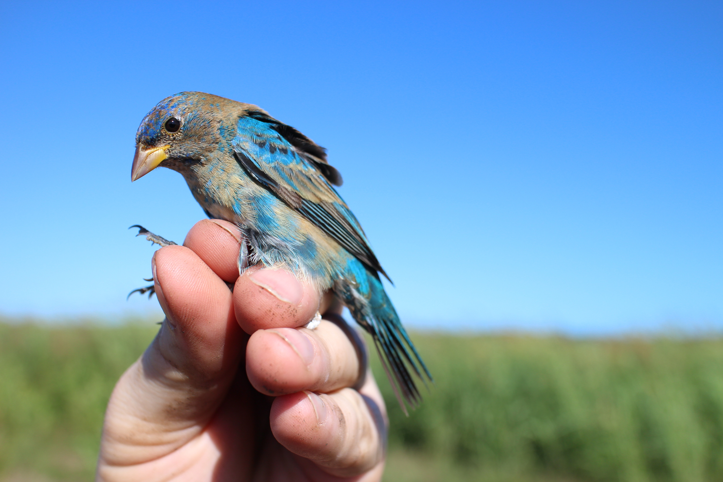 While mistnetting at the agriculture research station in La Parguera we were excited to find this Blue Grosbeak ( Passerina caerulea ) in one of our nets!
