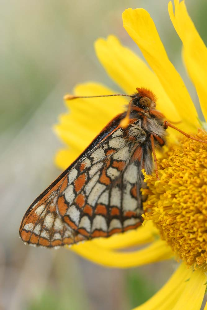 Checkerspot on alpine sunflower