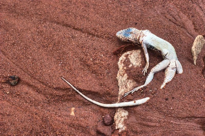 Lizard after flashflood at Canyonlands, UT