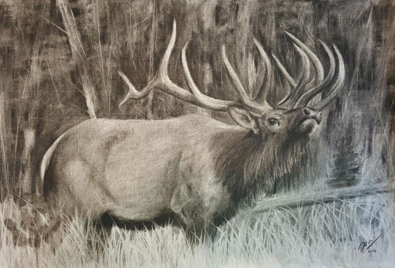 Bugling Elk at Rocky Mountain National Park, Colorado