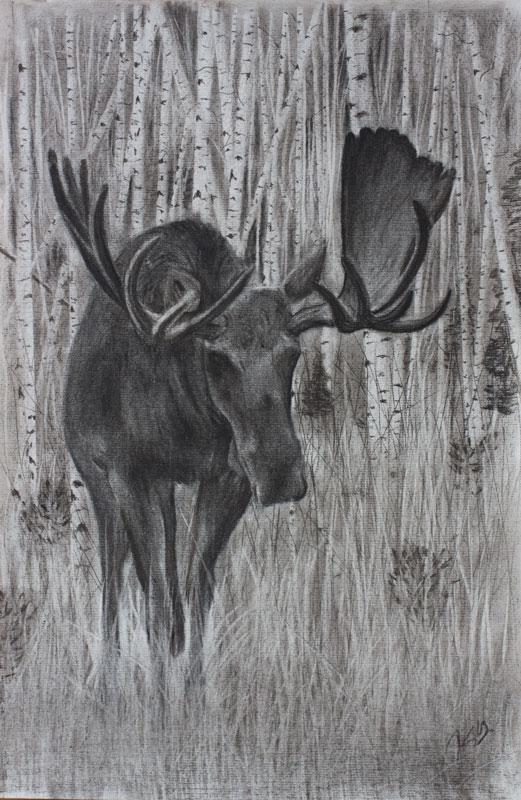 Bull Shiras Moose in Velvet