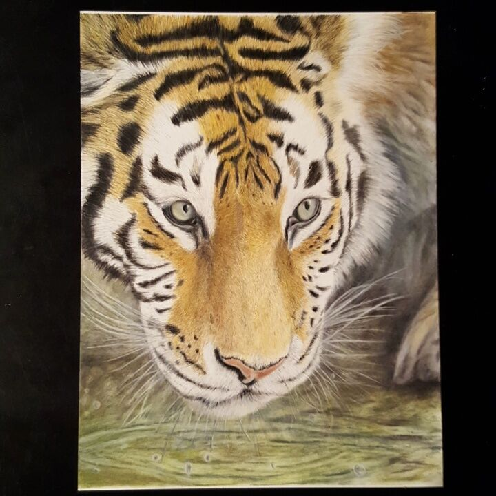 Tiger Colored Pencil Drawing