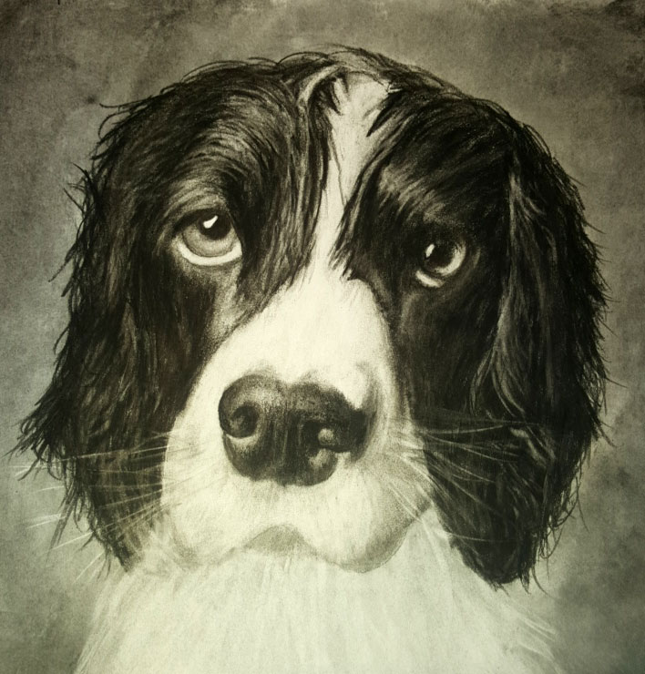 Springer Spaniel Charcoal Commission (NOT FOR SALE)