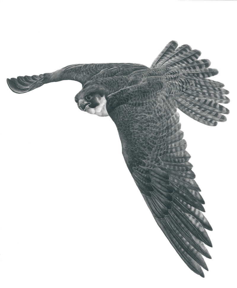 """Flying Peregrine Falcon Graphite Drawing 12""""x18"""" (Prints $30)"""