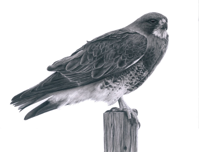 """Perched Swainson's Hawk Graphite Drawing 12""""x18"""" (Prints $30)"""