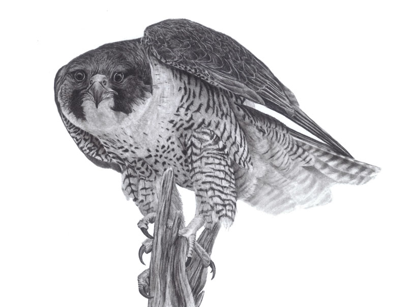 """Peregrine Falcon Graphite Drawing """"Peregrine Lookout"""" 9x12"""