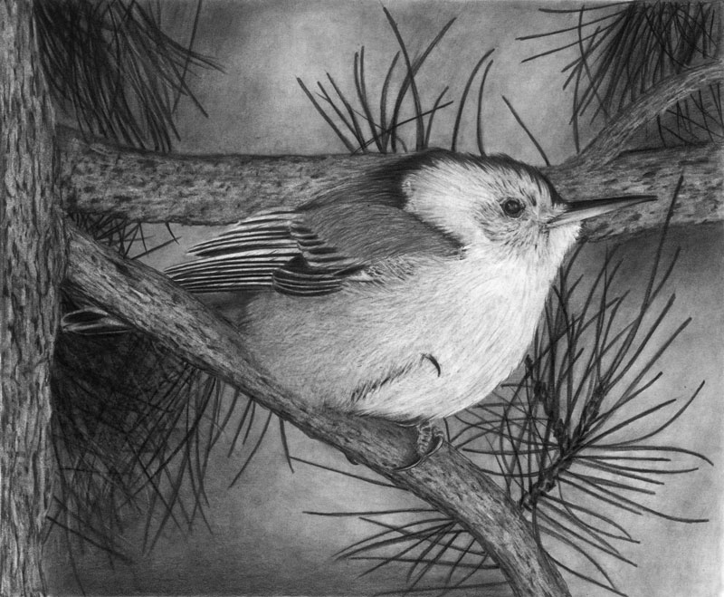"""White-Breasted Nuthatch 8""""x10"""" Graphite Drawing Limited Edition set of 30"""