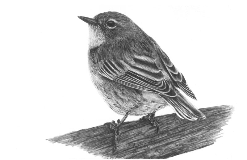 """Yellow-Rumped Warbler 5""""x8"""" Graphite Drawing Limited Edition set of 20"""