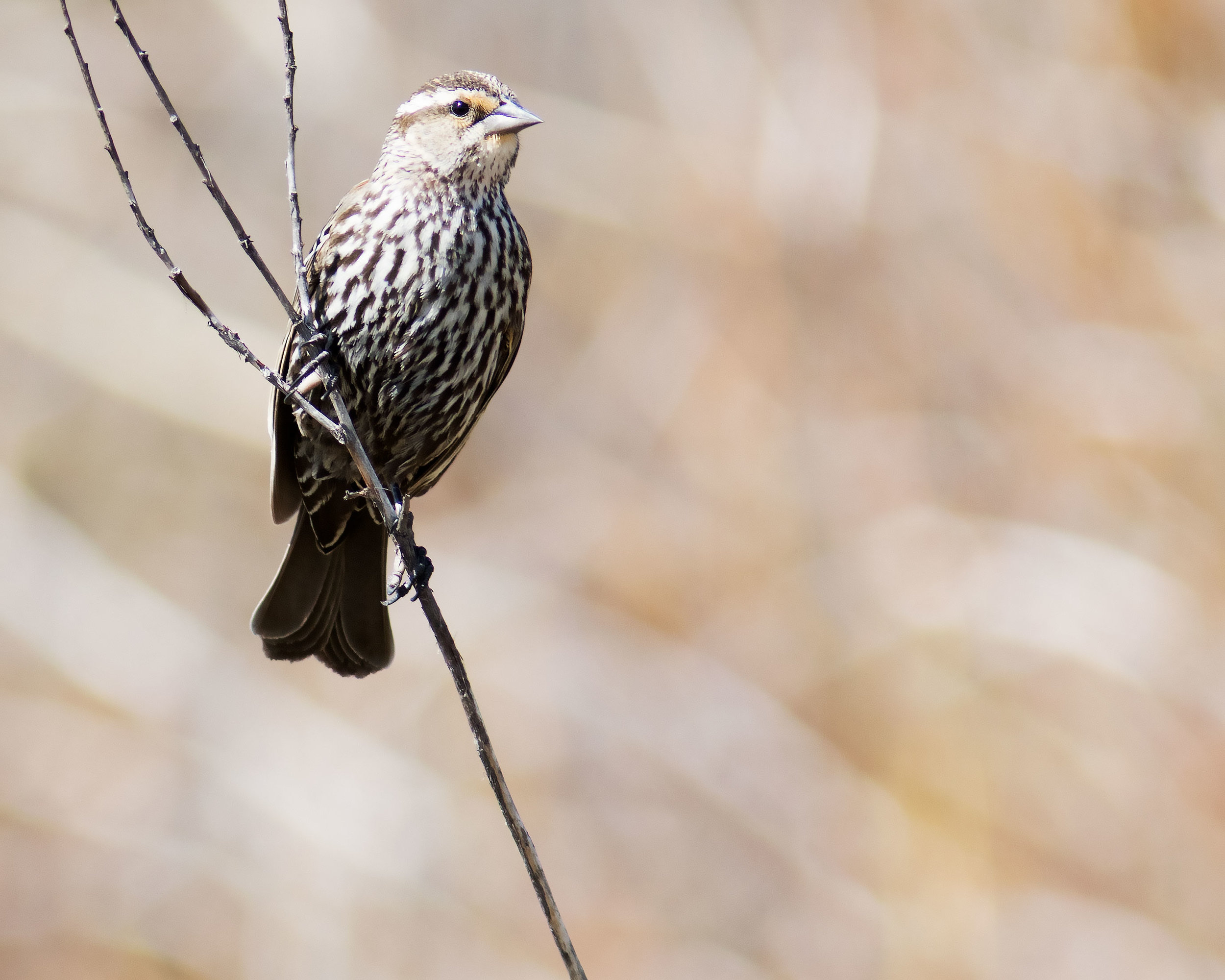 Female Redwinged Blackbird