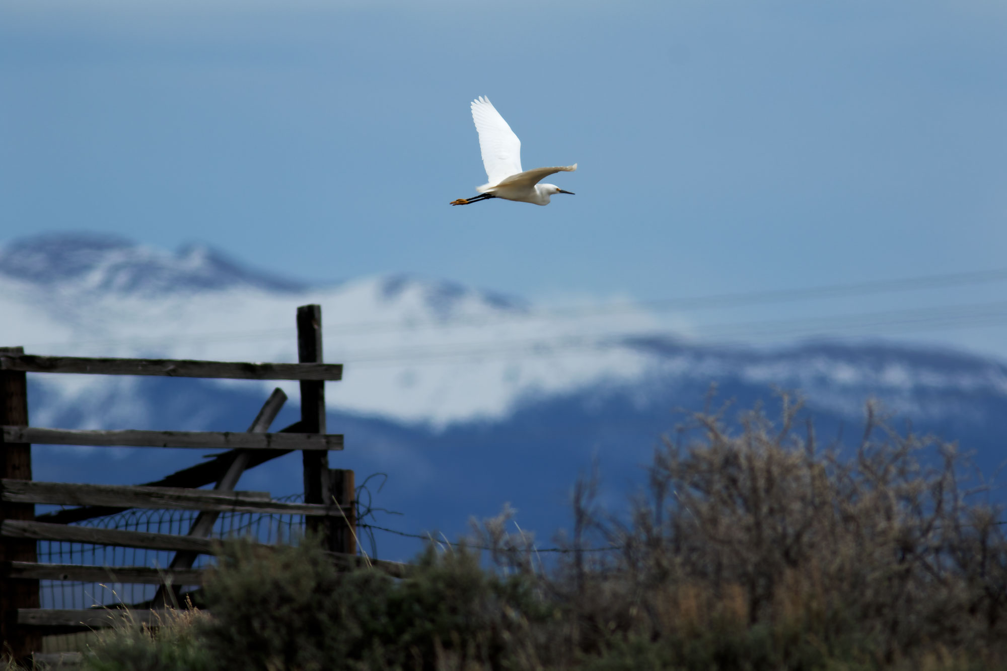 Snowy Egret in North Park, Colorado