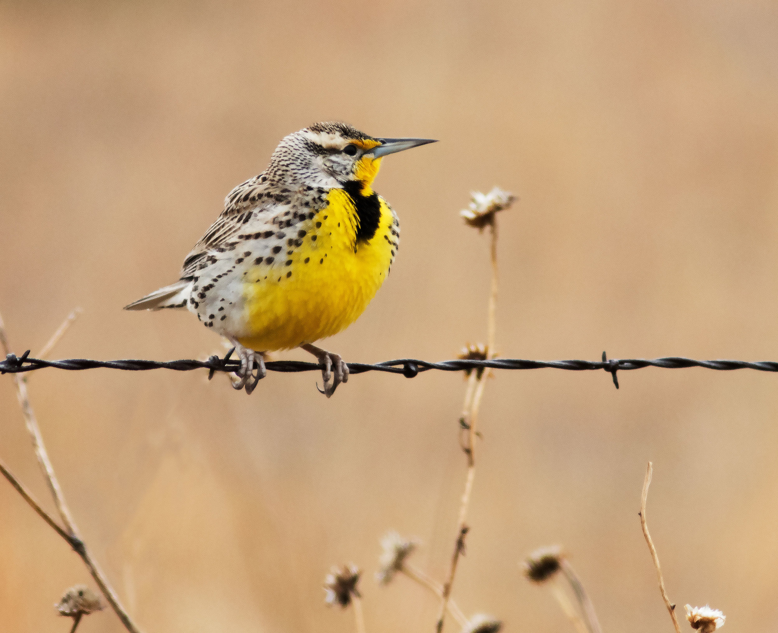 Western Meadowlark in the Nebraska Sandhills