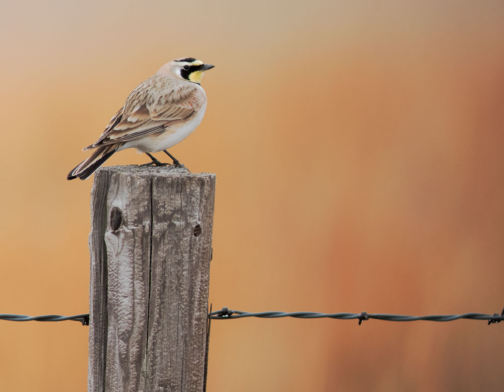 Horned Lark in the Nebraska Sandhills