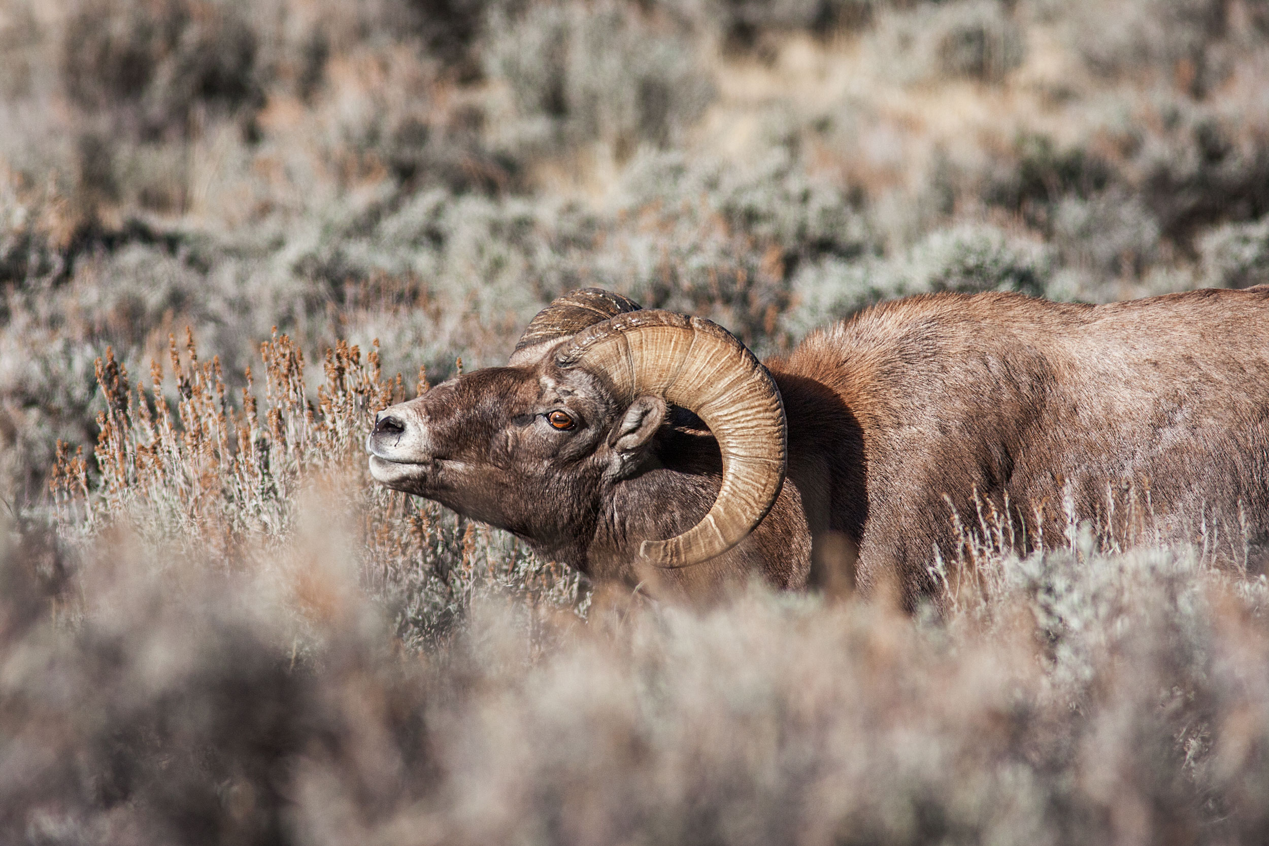 Rutting Bighorn Sheep