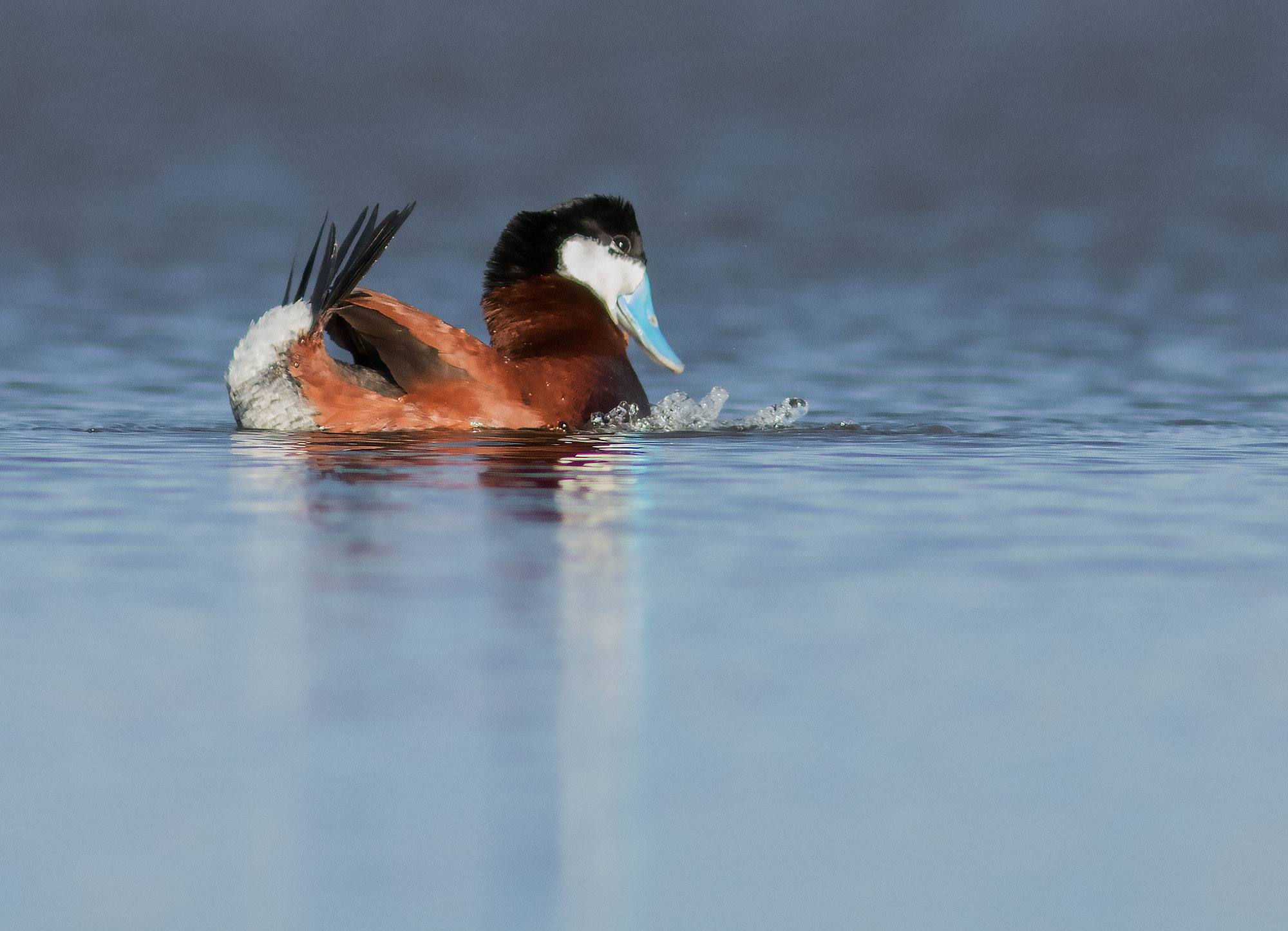 Displaying Ruddy Duck