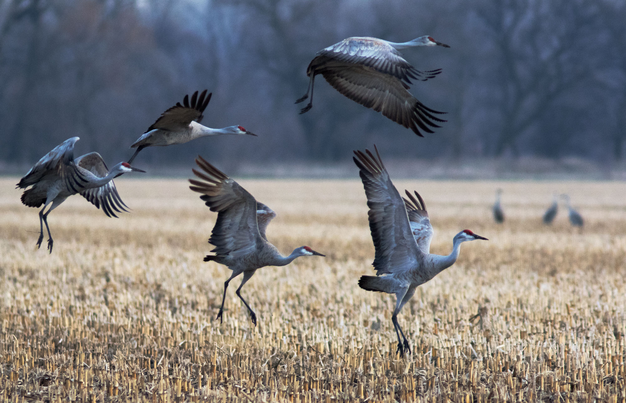 Sandhill Cranes on the Platte River, Nebraska
