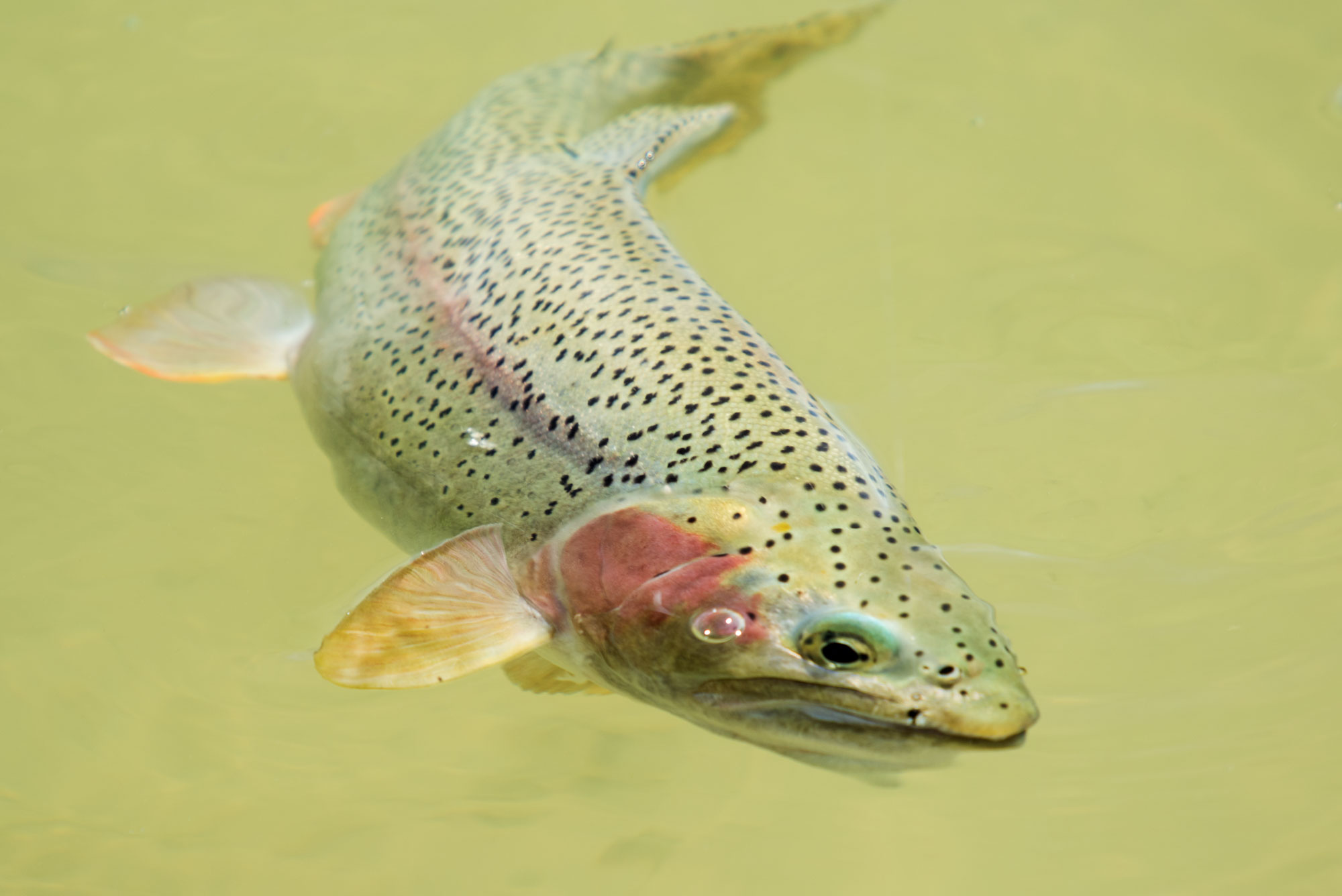 Cuttbow Trout