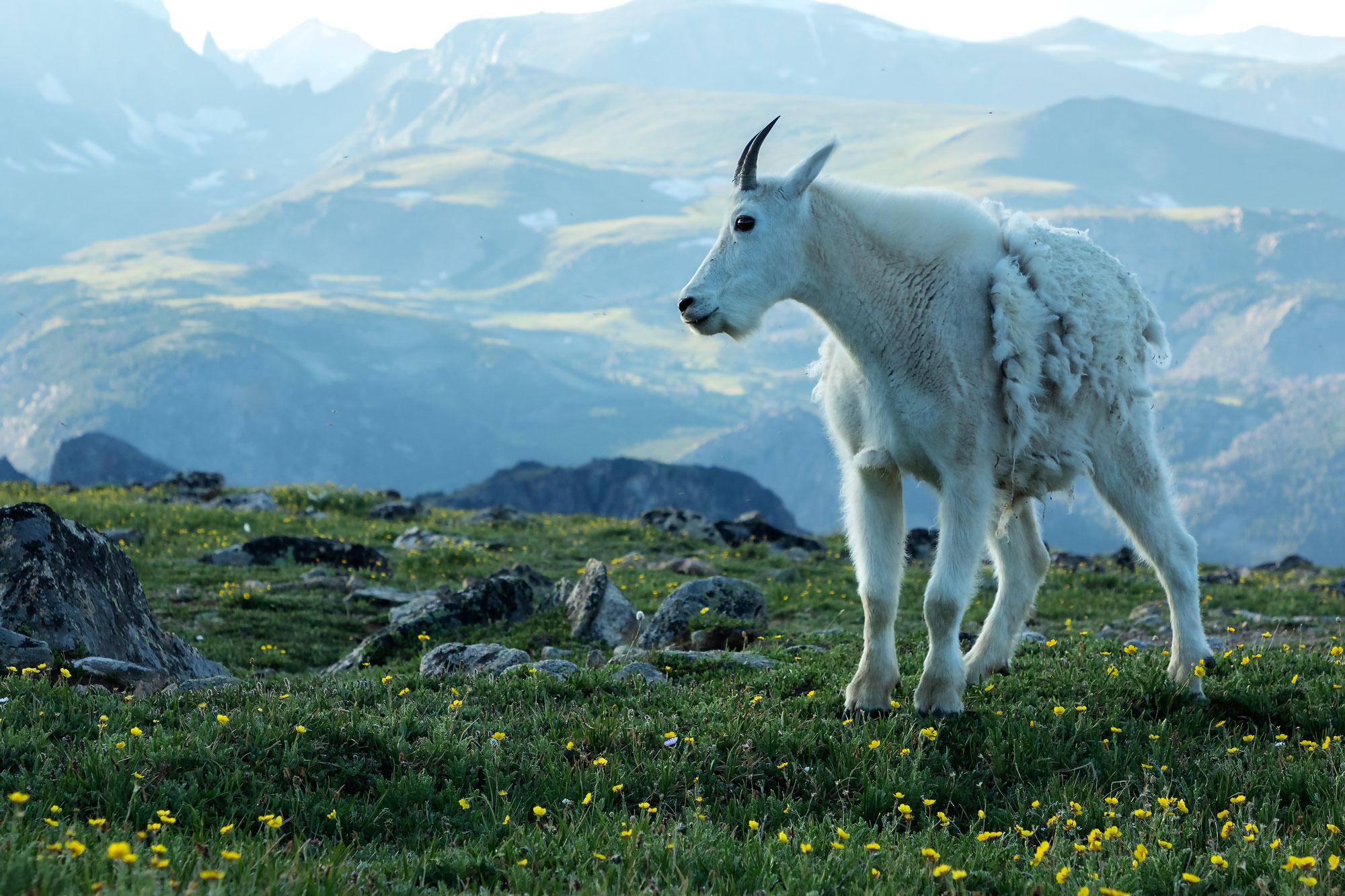 Nanny mountain goat on Beartooth Pass, WY