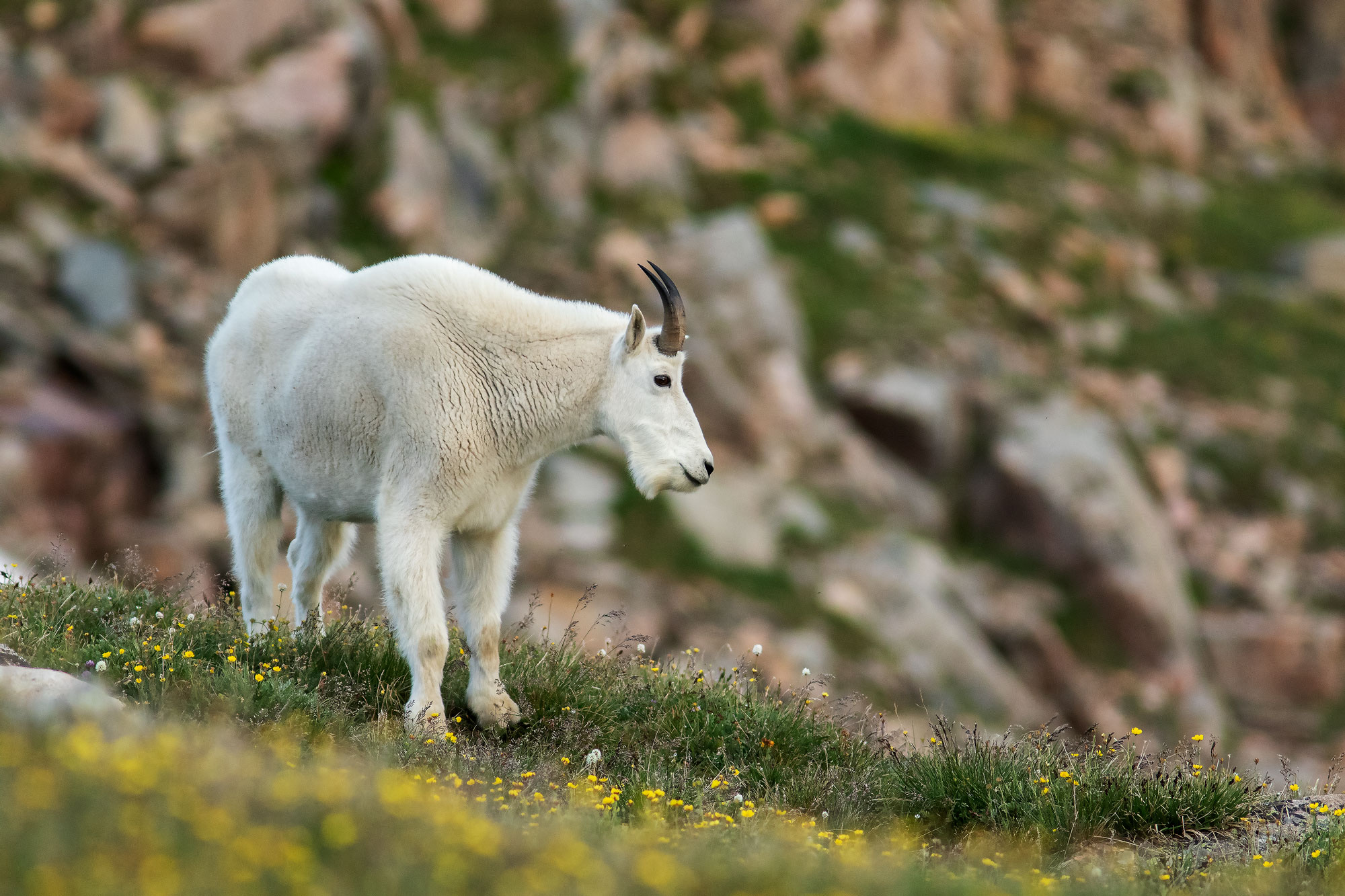 Billy mountain goat on Beartooth Pass, WY