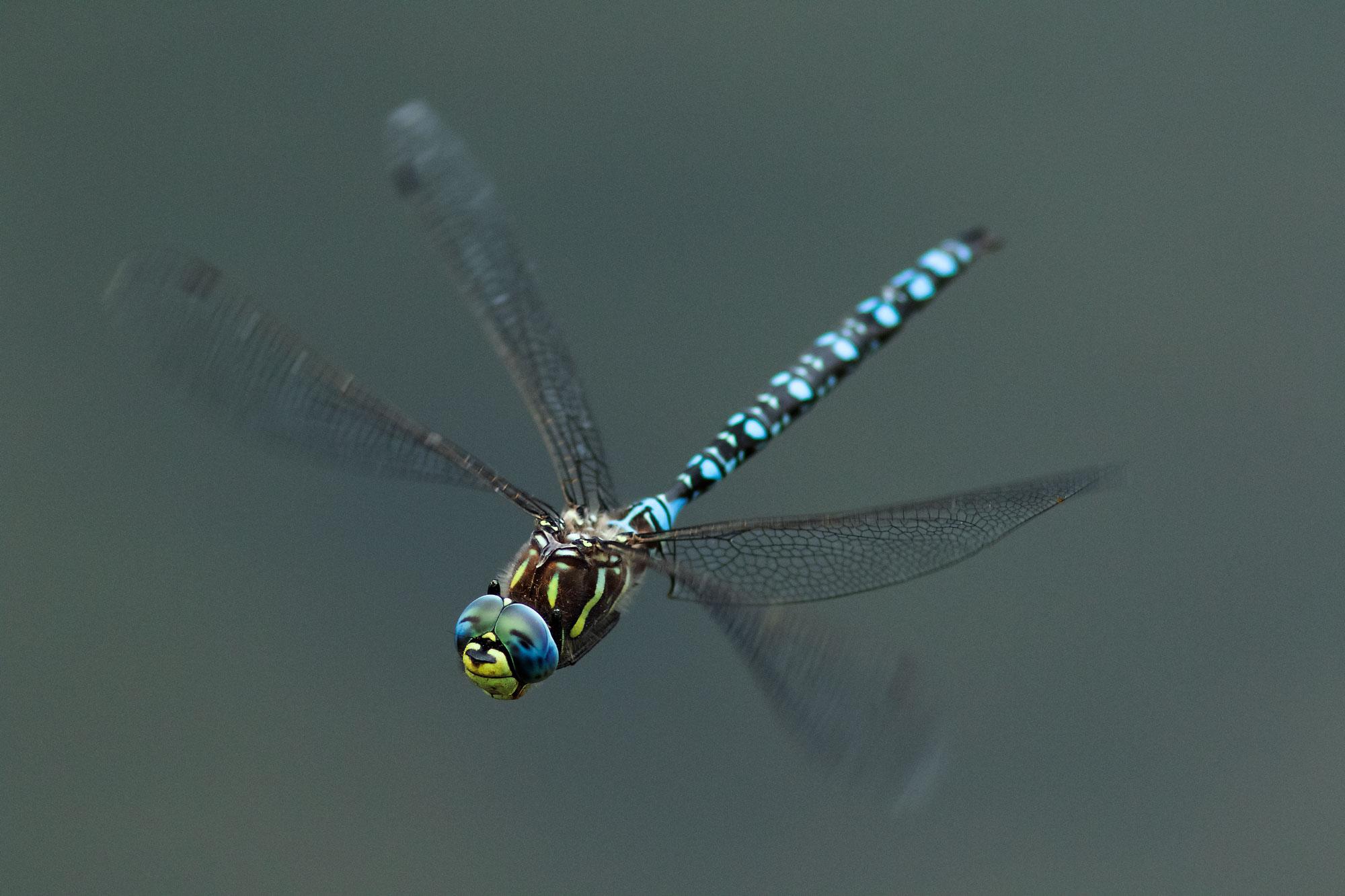 Dragonfly at Yellowstone NP