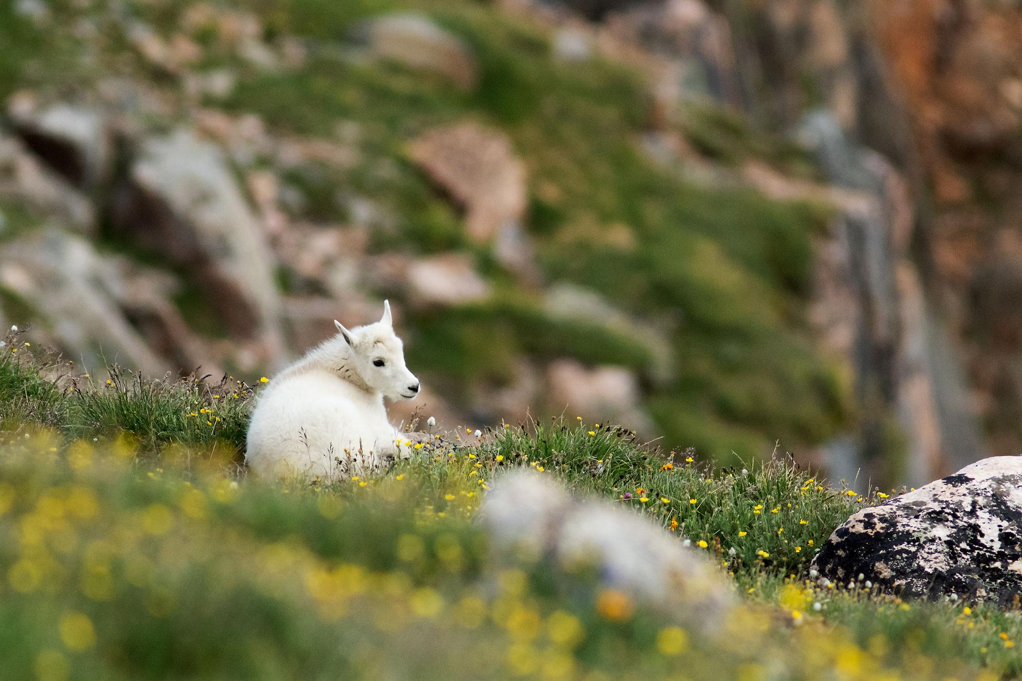 Mountain goat kid on Beartooth Pass, WY