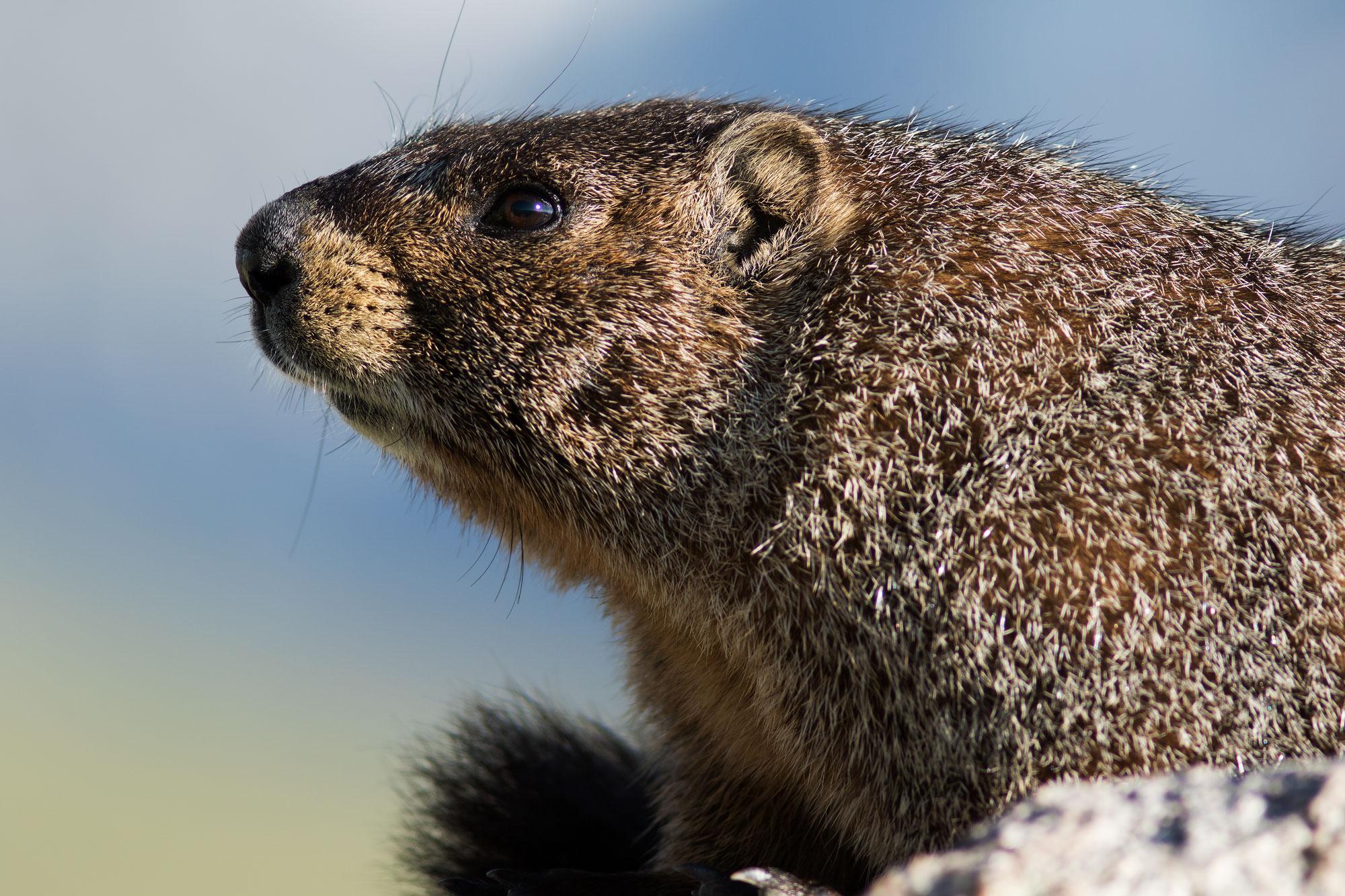 Marmot at Rocky Mountain NP