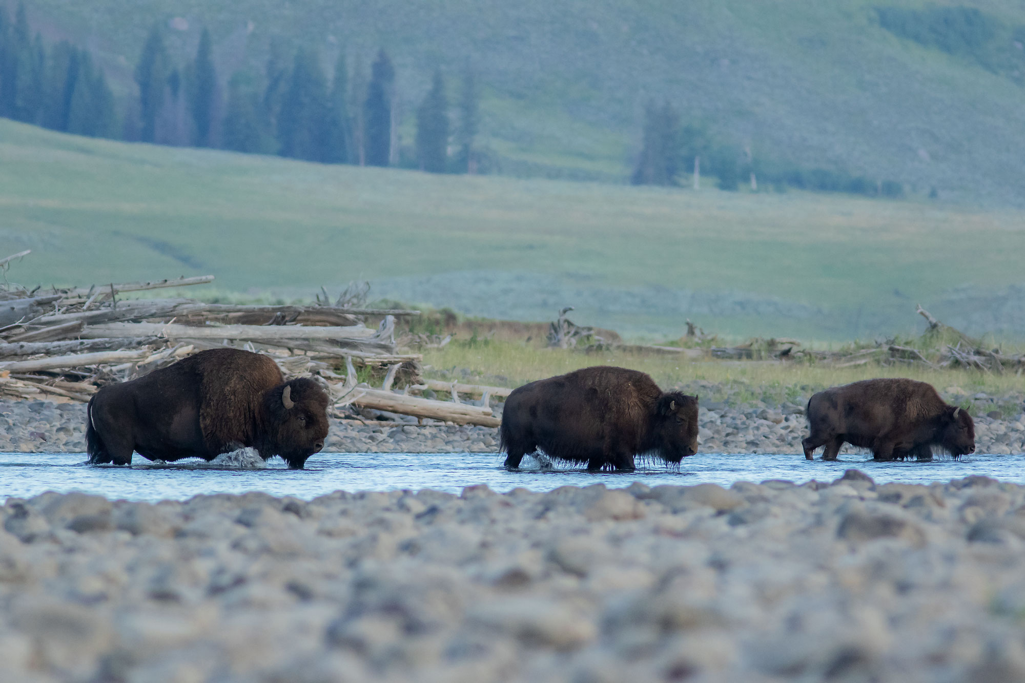 Bison in the Lamar Valley, Yellowstone NP