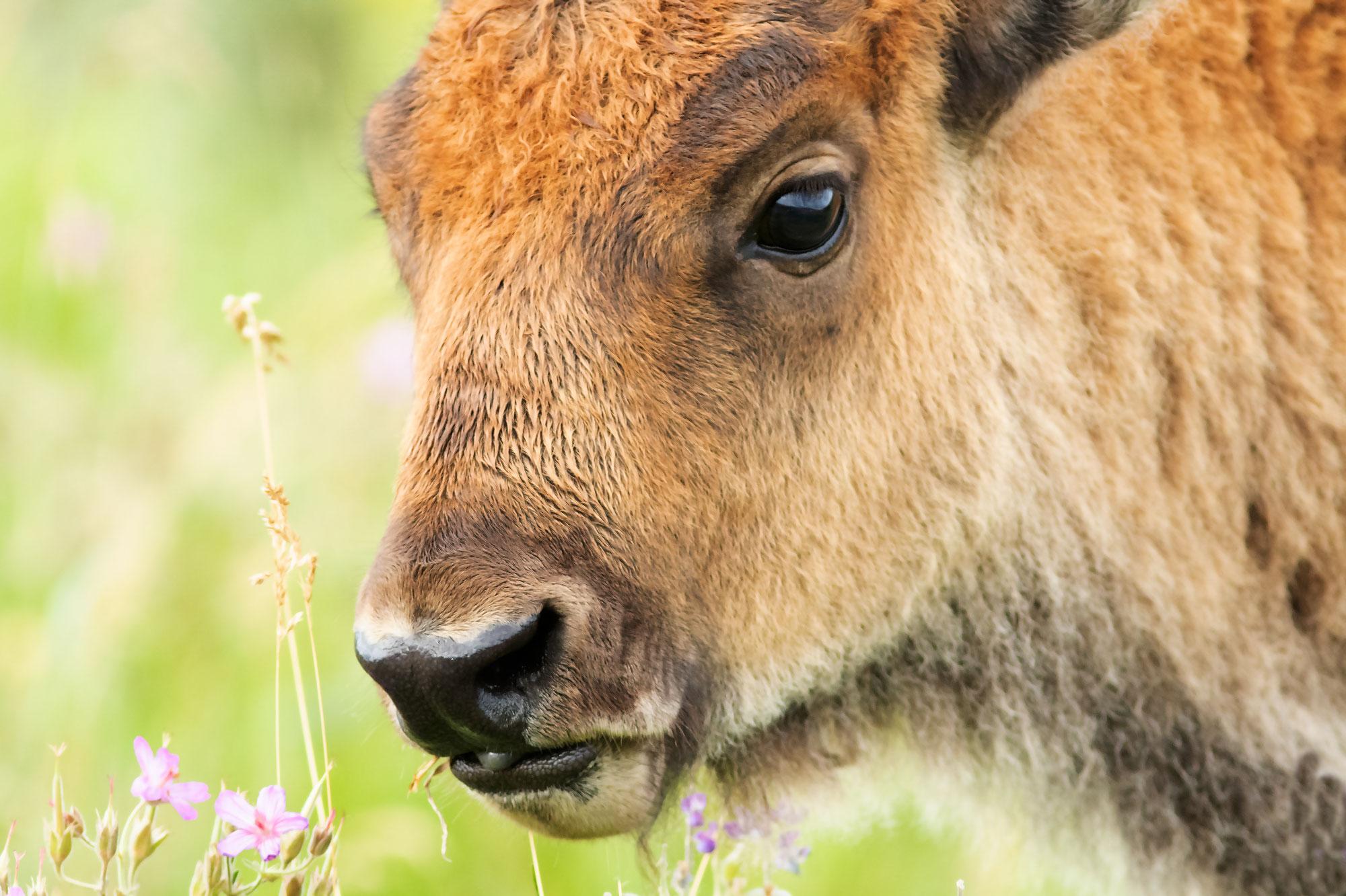 Bison calf at Yellowstone NP