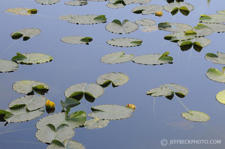 Lily Pads near Island Lake, Uinta Mountains, Utah