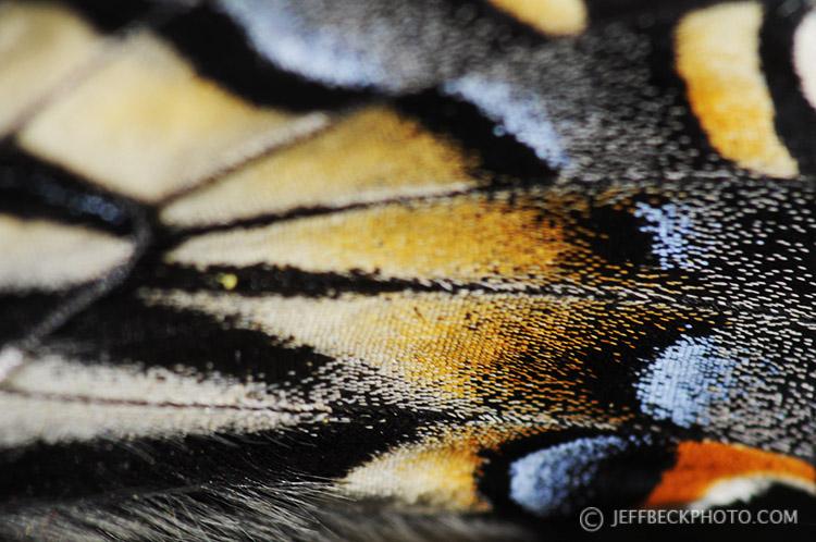 Tiger Swallowtail Wing Detail, City Creek Canyon, Utah