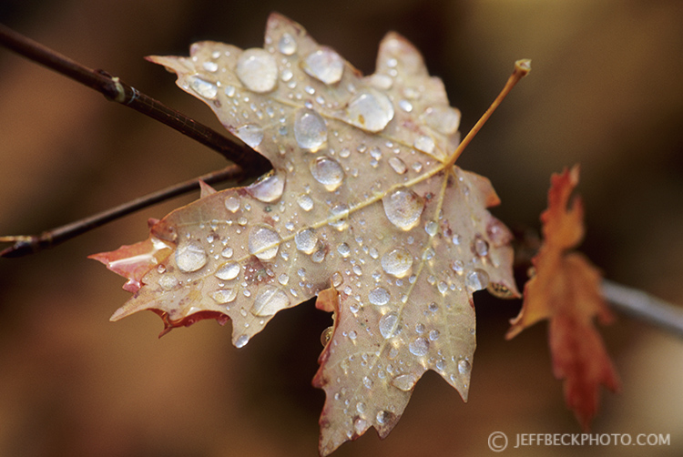 Raindrops on Maple Leaf