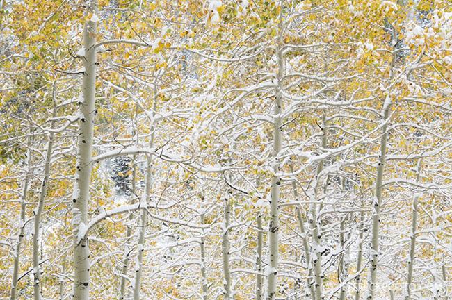 Snowy Aspen
