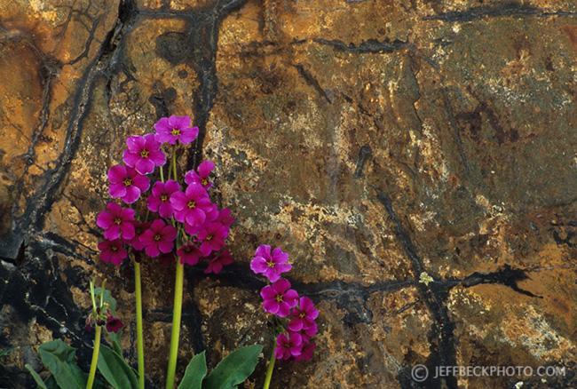Parry's Primrose and Wasatch Quartzite