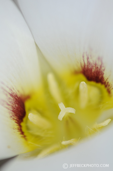 Sego Lily