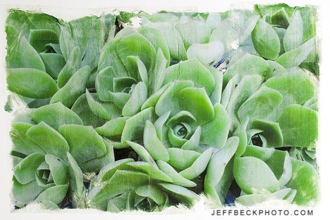 Succulents - Pigment Transfer Print