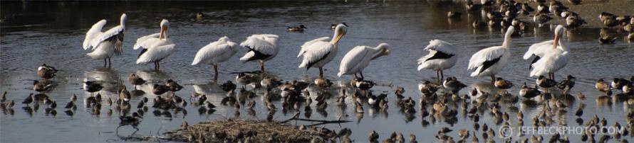 American White Pelicans, Baylands, California