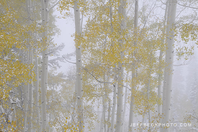 Aspen in Fog, Little Cottonwood Canyon, Utah