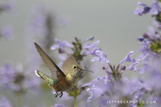 Female Broad-tailed Hummingbird ( Selasphorus platycercus )