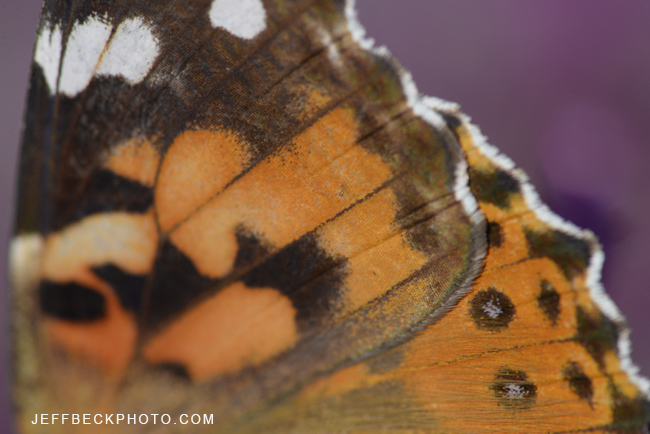 Painted Lady Wing Detail, Red Butte Garden, Utah