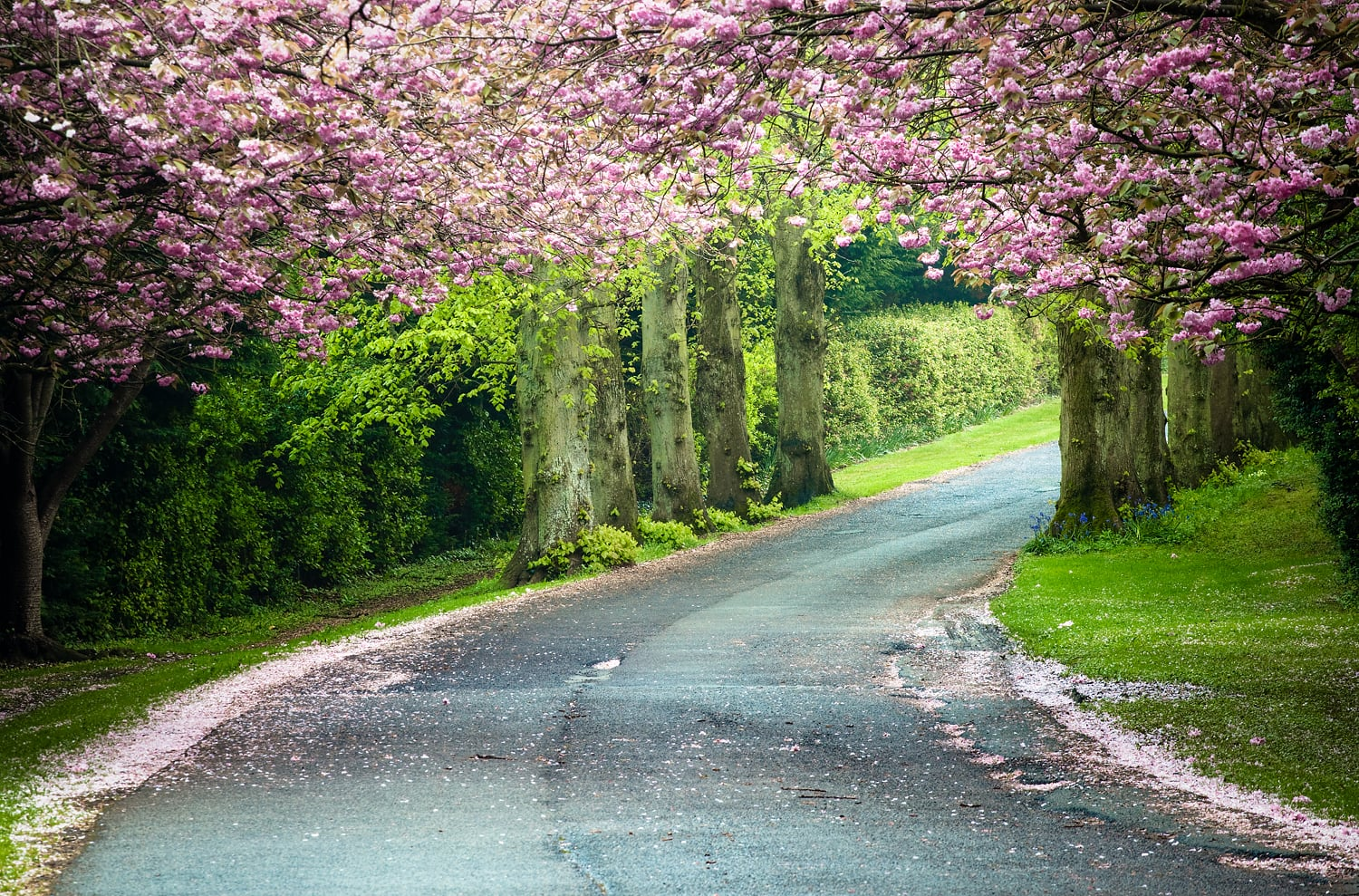 Cherry Blossoms, Co Louth