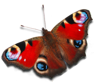 Peacock butterfly.png